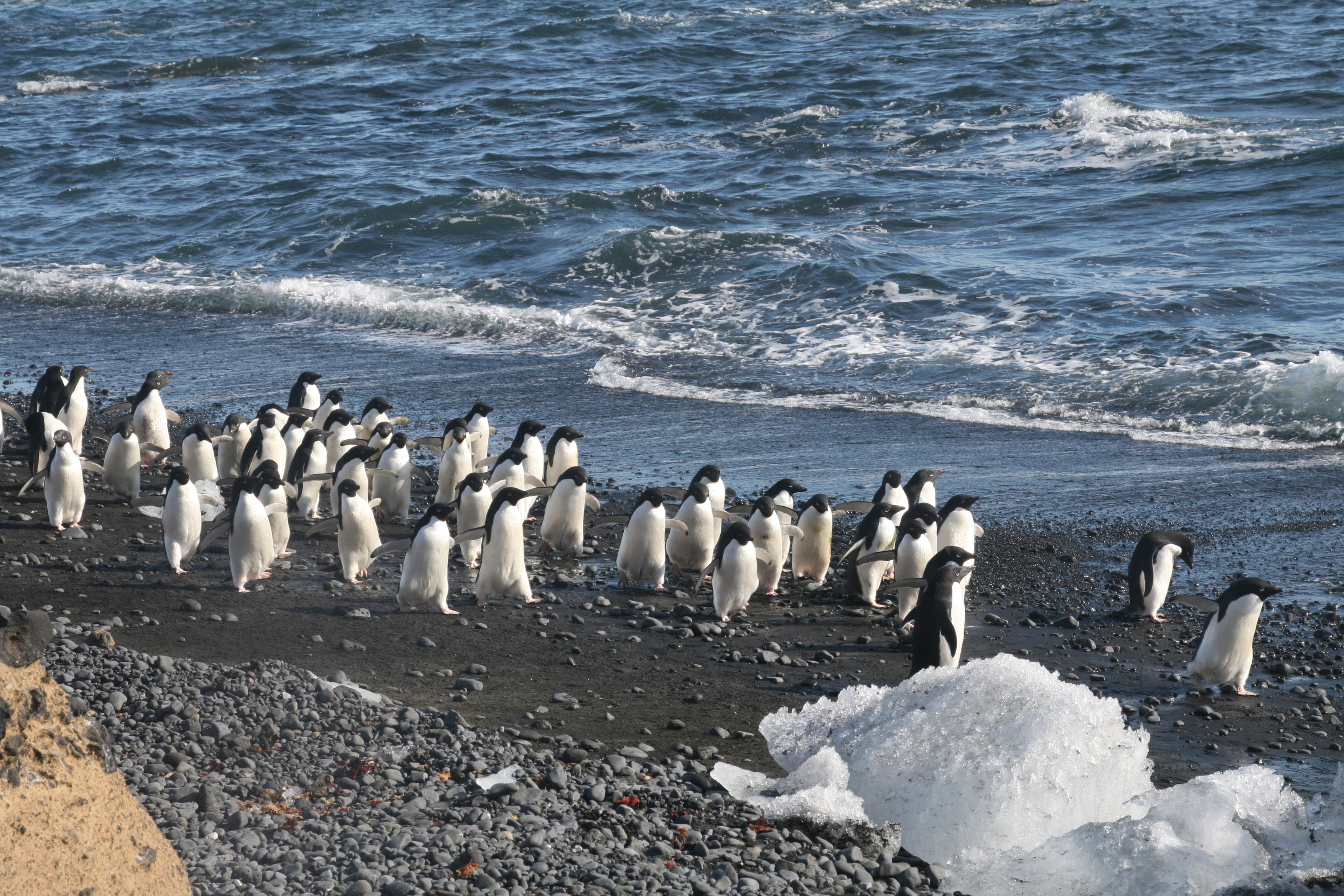 A group of Adélie penguins walks along the beach at Brown Bluff (Photo credit: Brian Druker)