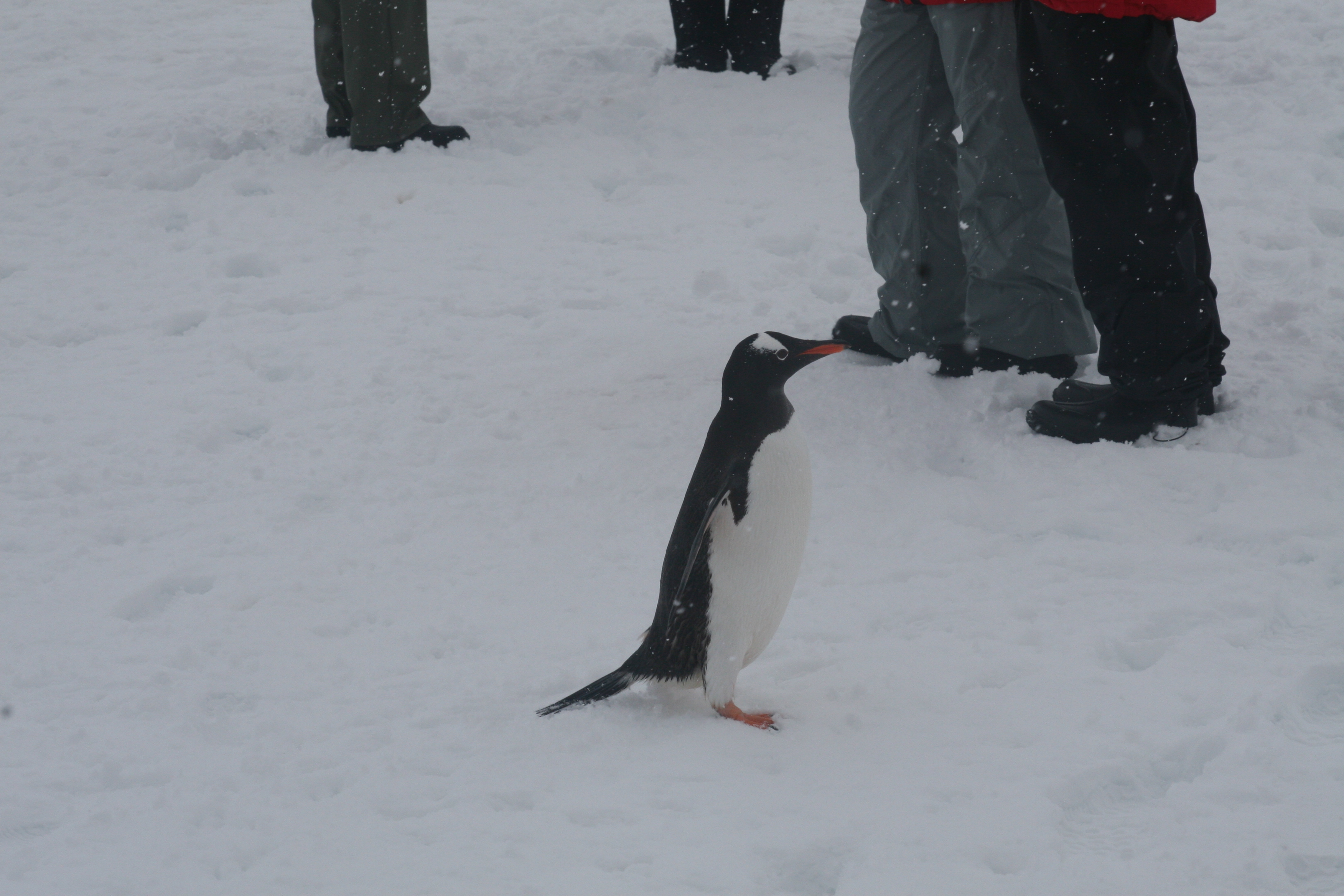 Gentoo Penguin at Port Lockroy (Photo credit: Brian Druker)
