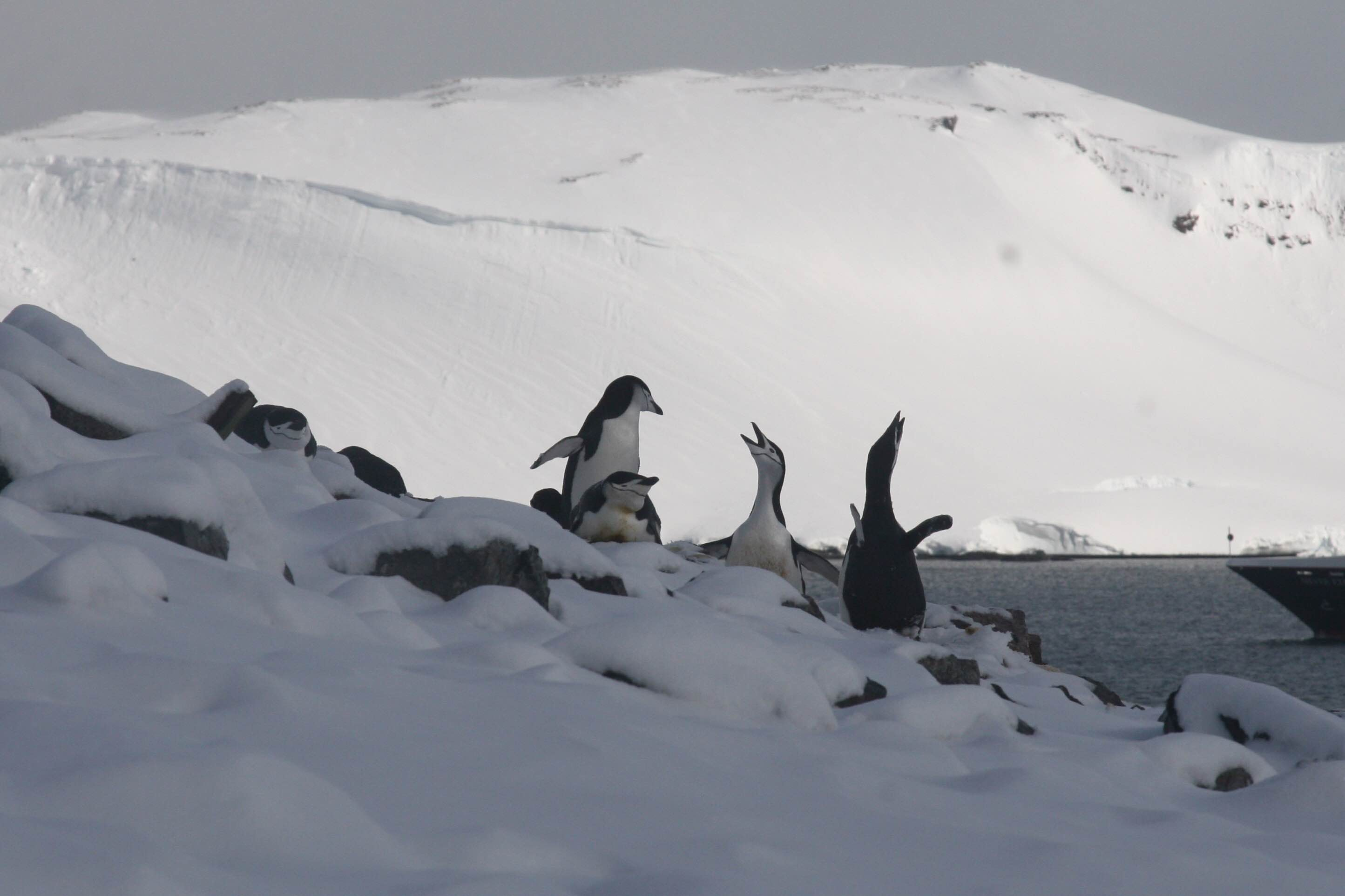 Chinstrap Penguins arguing over whose turn it is to watch their egg, Half Moon Island, Antarctica (Photo credit: Brian Druker)